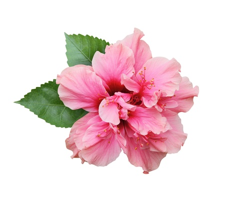 Hibiscus flower isolated on white photo
