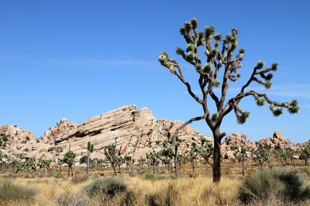 joshua: Joshua Tree National Park, California, USA