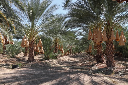 green dates: Date palm tree orchard