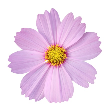 cosmos flower isolated on white background  photo