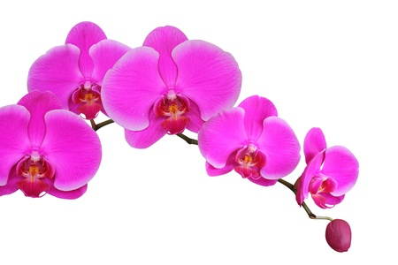 Orchid on white background Stockfoto