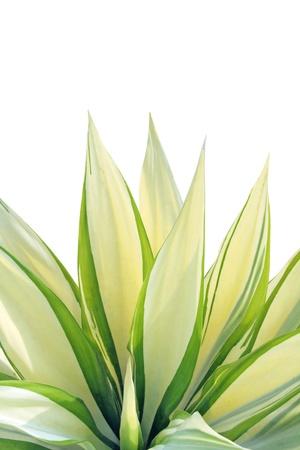 yucca: Fresh leaf - Agave