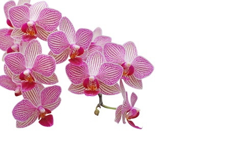 Orchid flower on white background photo