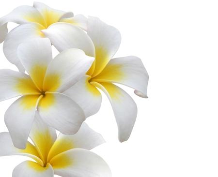Frangipani  Plumeria