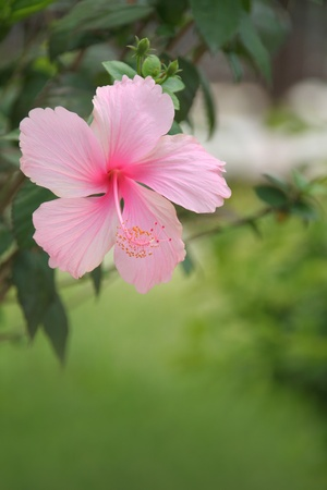 Hibiscus flower with copy space