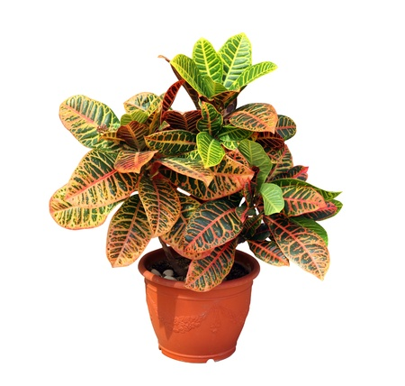 Croton plant isolated on white background  Stock Photo