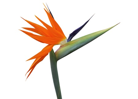 흰색 배경에 격리 된 낙원 꽃의 새 스톡 콘텐츠 - 12822157