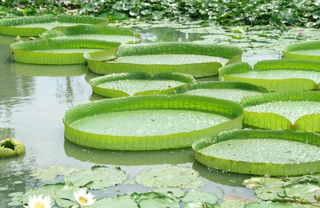 vitoria: Victoria Regia - the largest water lily in the world