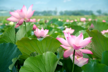 field of thai: lotus flower blossom  Stock Photo