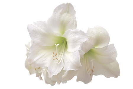 White amaryllis  photo