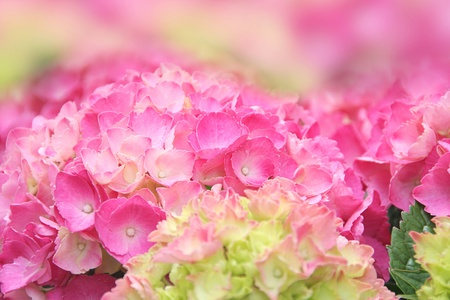 Pink hydrangea in Spring photo