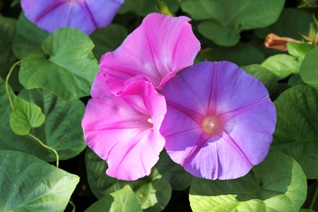 glory: morning glory flowers  Stock Photo