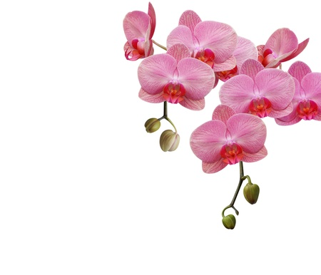 Simply pink orchid photo