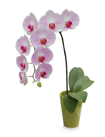 Isolated orchid on a green porcelain pot  photo