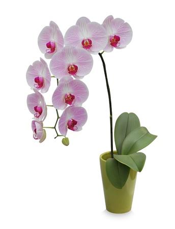 Isolated Orchidee auf einem grünen Porzellan Topf