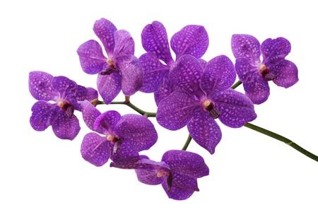 Purple orchid Banco de Imagens