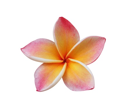 Frangipani  Pumeria  flower isolated on white  photo