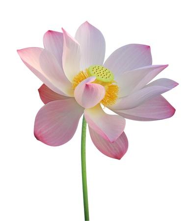 蓮の花は白で隔離されます。