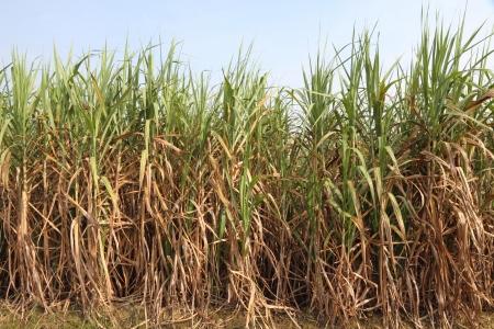ethanol: Sugarcane plantation  for Ethanol fuel