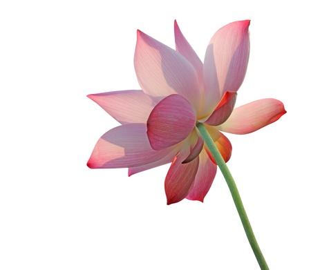 exotic flower: Lotus flower isolated on white