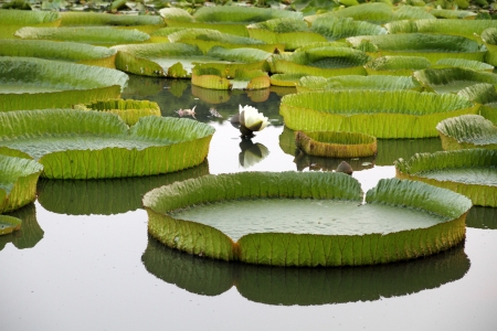 Majestic amazon lily pads in tropical Asia  Victoria Regia  photo