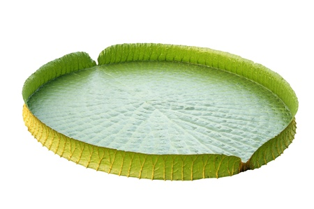 lily pad: Amazon lily pad  Victoria Regia  isolated on white Stock Photo