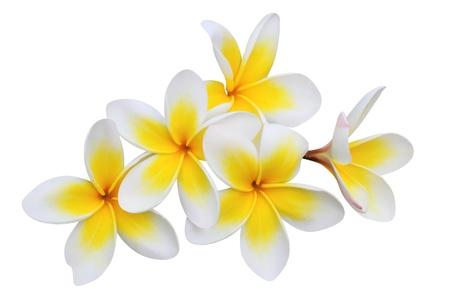 白で隔離されるフランジパニ プルメリアの花 写真素材
