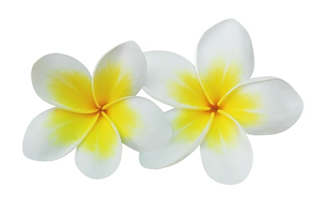 Frangipani  plumeria  flowers isolated on white Stock Photo