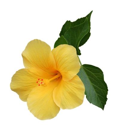 single flower: Hibiscus