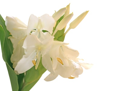 White Ginger Lily Flower  also called Hedychium, Butterfly Ginger, Garland Flower, or Kahili Ginger  Stock Photo