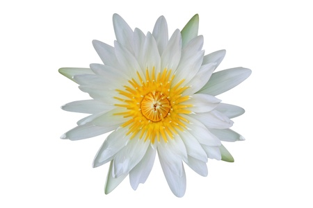 White water lily isolated on white background photo