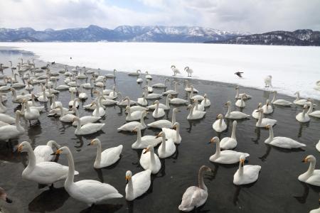 北海道屈斜路湖湖を白鳥します。