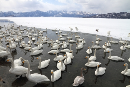 Swan lake  Lake Kussharo  in Hokkaido, Japan