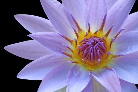 кувшинка: Фиолетовый водяная лилия Фото со стока