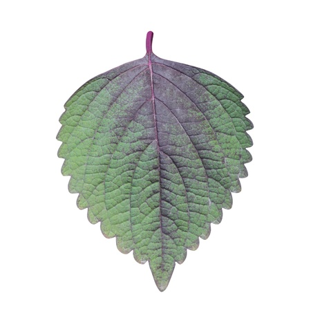 Perilla  Shiso  Leaf isolated on white - path included