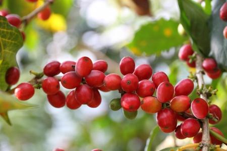 cafe colombiano: Las bayas de café