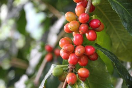 cafe colombiano: Las bayas de caf�