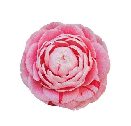 camellia: Camellia isolated on white - clipping path included Stock Photo