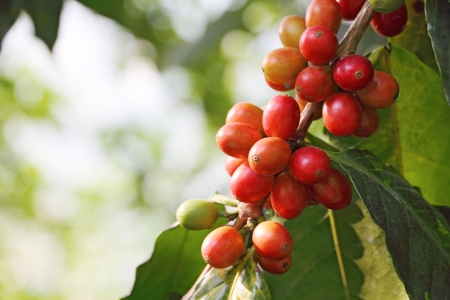 coffee harvest: coffee tree