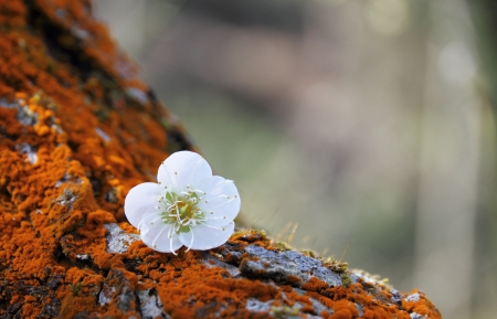 Plum flower blossoming in spring