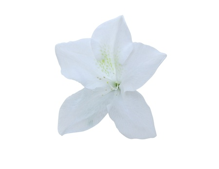 Azalea isolated on white background  clipping path included
