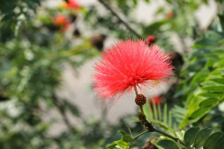 Calliandra Haematocephala photo
