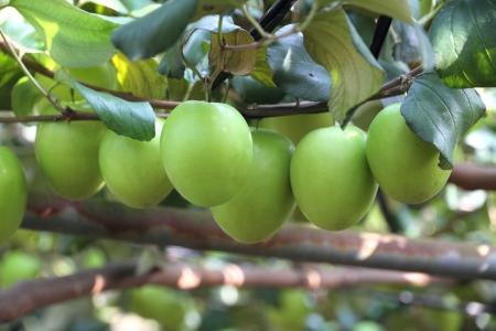 jujube fruits: Green jujube fruit