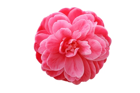 camellia: Red camellia isolated on white