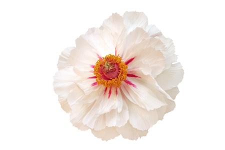 White peony flower isolated on white