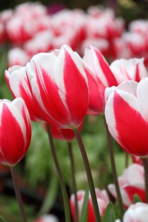 Tulips Stok Fotoğraf