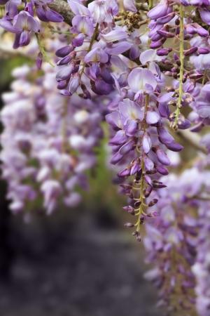 wisteria Stok Fotoğraf