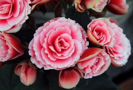 begonia: Begonia flowers