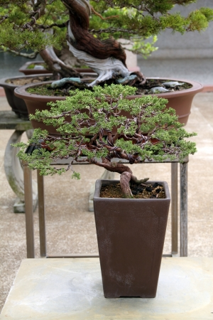 juniper tree: Bonsai