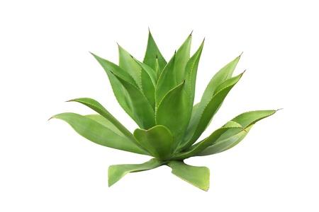 リュウゼツランの植物の分離白で隔離される白のリュウゼツランの植物のテキーラの原料